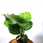 mobi flori-calathea orbifolia