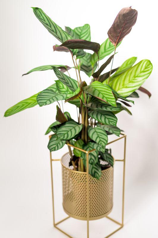 Calathea-exotica-mobi-flori