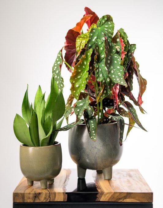 mobi flori begonia