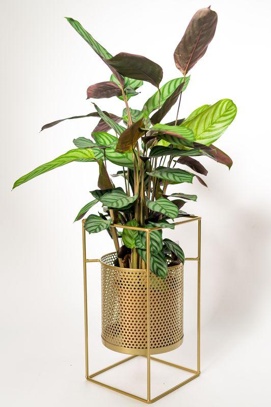 calathea-exotica mobi flori