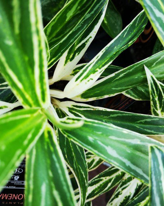 Aglaonema-White-Strem-mobi-flori.jpg
