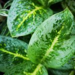 Aglaonema key lime mobi flori