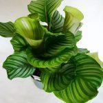 Calathea Orbifolia L