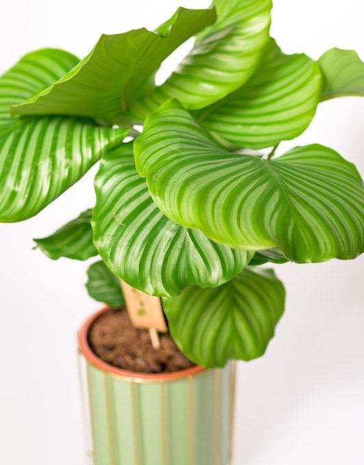 calathea-orbifolia-mobi-flori