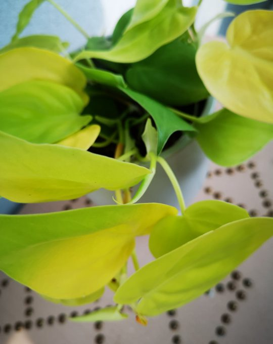 Philodendron Scandens Lemon Lime mobi flori