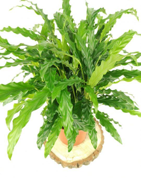 calathea-blue-grass-mobi-flori