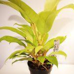 Philodendron Malay Gold Mobi Flori
