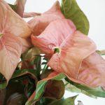 Syngonium Red Heart mobi flori