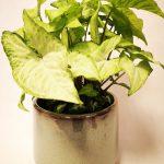 syngonium white butterfly mobi flori