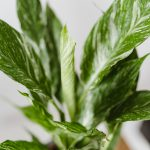 Spathiphyllum Gemini Variegata mobi flori