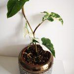 Syngonium Variegata mobi flori