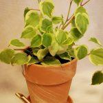 peperomia variegata mobi flori