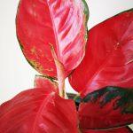 Aglaonema Blood Mary mobi flori