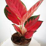 Aglaonema super red mobi flori