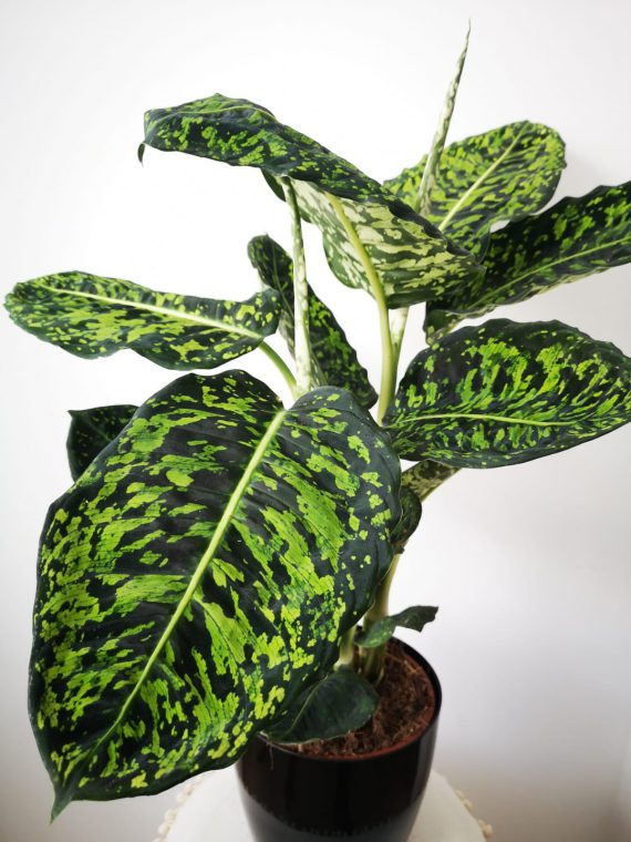 Difenbachia Reflector mobi flori.pl