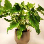 Philodendron selloum Little Hope mobi flori