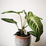 Xanthosoma Lindelli mobi flori